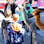 people and two alpacas