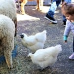 a young girl, chickens and sheep